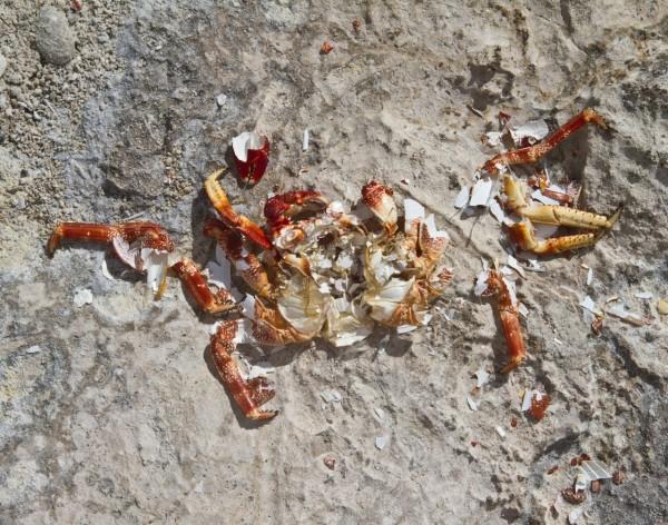 Found_Crab_21° 22' 18.95_, -158° 8' 19.99_